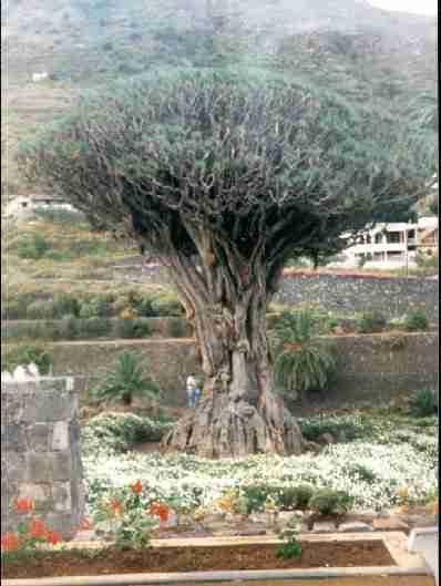 dem Drachen sein Baum